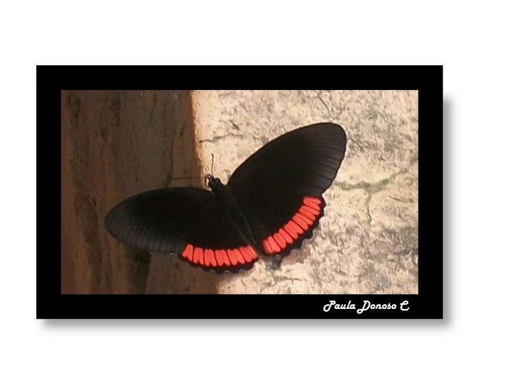 Mariposa - Butterfly  (Paraguay)