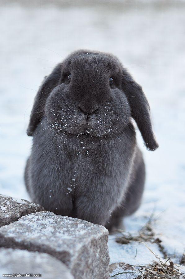 Cutest grey Snow Bunny~ by Ida Lundahl