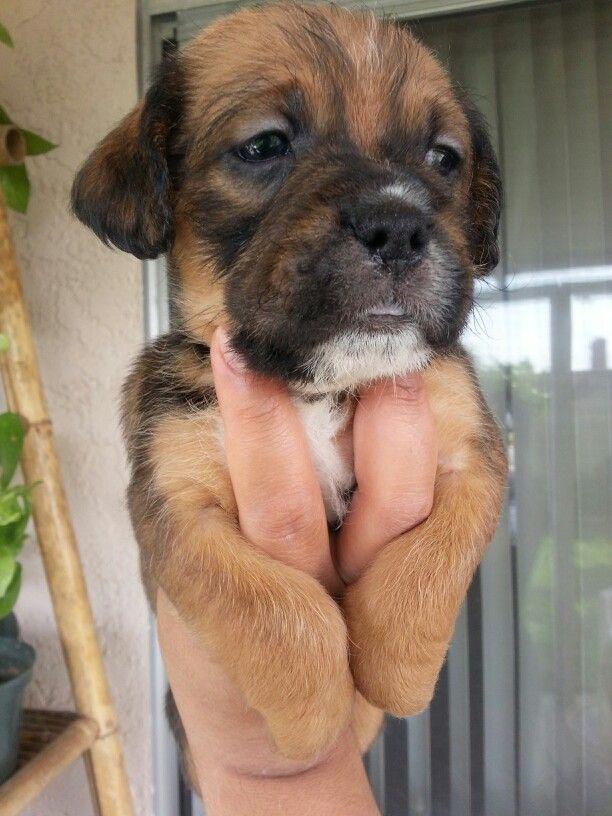boxer shitzu mix puppy at 6 weeks Shitzu mix, Puppies, Dogs