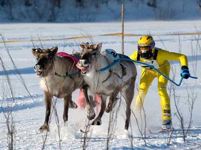ski tiré par des rennes