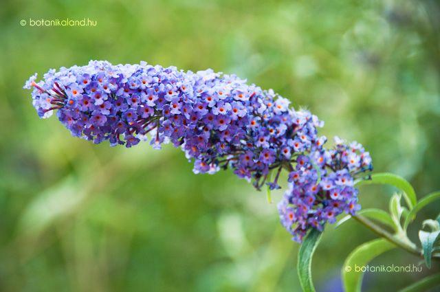 Az illatos nyáriorgona felálló szárú gyorsan növő cserje, nálunk inkább félcserje, amely ideális választás lehet akkor, ha viszonylag rövid időn belül nagyobb virágzó színfolttal szeretnénk gazdagítani a kertünket.
