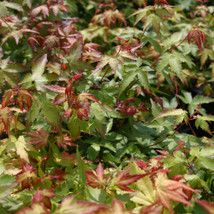 Acer palmatum Little Princess = 'Chiyo-hime' Japanese Maple - 3 litres