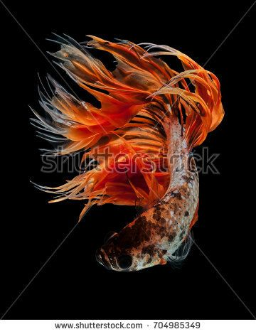 "Betta fish, siamese fighting fish ""Orange Fancy Crowntails"" isolated on black background beautiful movement macro photo"
