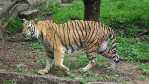 Save Bengal Tiger Habitat