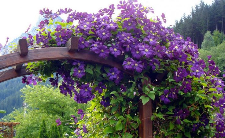 """Clematis: Blütenspaß für viele Jahre -  Sie ist die Königin der Kletterpflanzen und bereichert jeden Garten mit ihrem einzigartigen Charme. """"Biegsame Ranke"""" heißt Clematis wörtlich übersetzt – doch außer meterlangen Trieben hat sie vor allem eines zu bieten: traumhafte Blüten"""