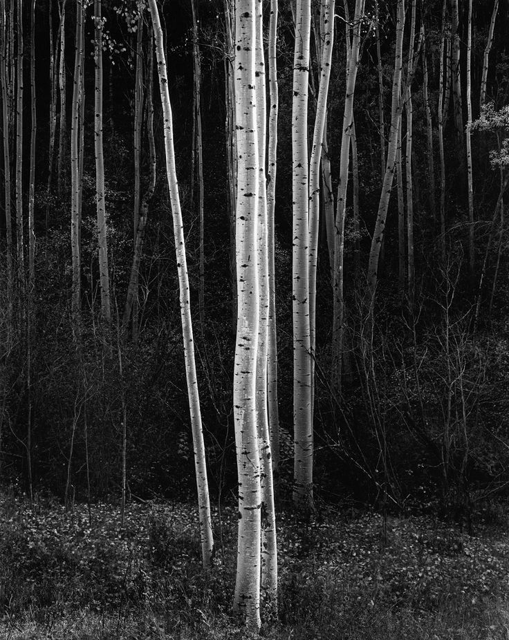 Aspens, Vertical. Northern New Mexico - 1958 by Ansel Adams. anseladams.com