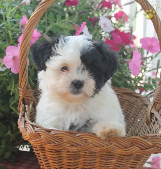 Gwen - Shichon Puppy for Sale in East Earl, PA | Lancaster Puppies