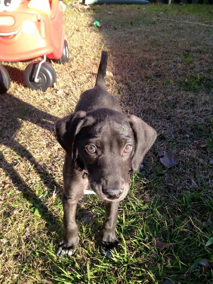 Adopt Aiden on Petfinder Labrador retriever dog