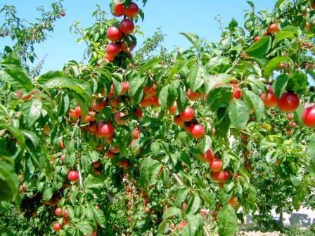frutto.....giuggiole, giuggiole e ancora giuggiole da dedicare alle mie giuggioline