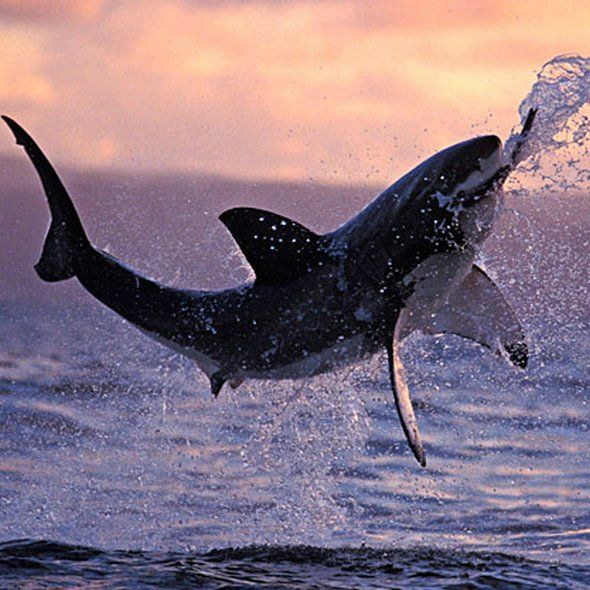 Great White...beautiful