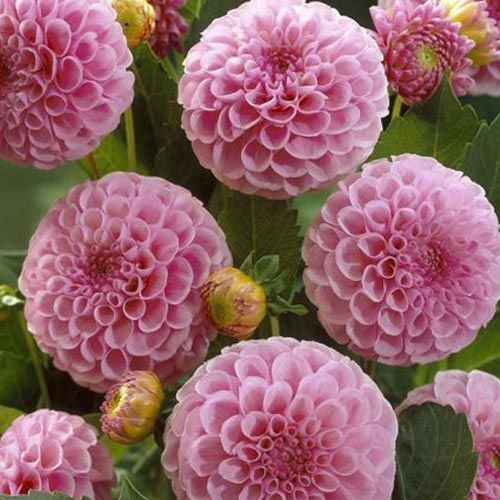 dahlia 39 stolze von berlin 39 lavender pink pompon dahlias i want pinterest dahlia planting. Black Bedroom Furniture Sets. Home Design Ideas