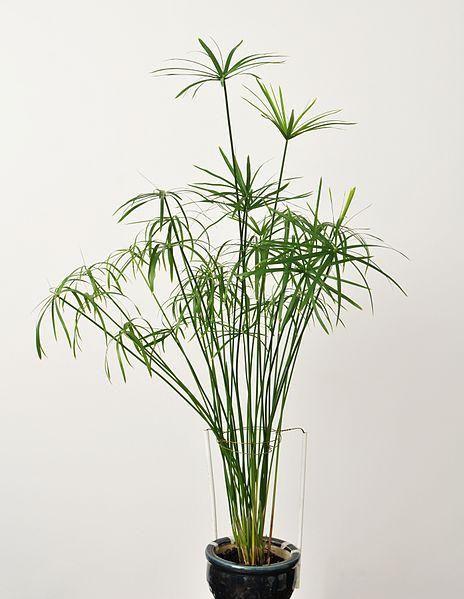 Cyperus Alternifolius Seeds (Umbrella Papyrus, Umbrella Sedge, Umbrella Palm)