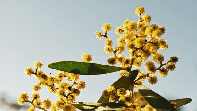 7 Uses For Acacia Medicinal Plants Acacia Herbs List