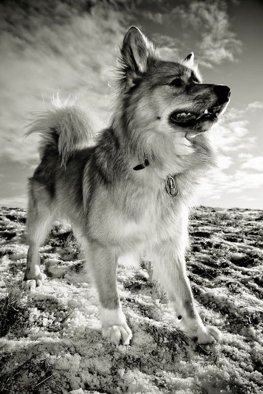 Icelandic sheepdog ~ Find more amazing #dog photos at: http://pinterest.com/HolidayHounds/amazing-dog-photos/