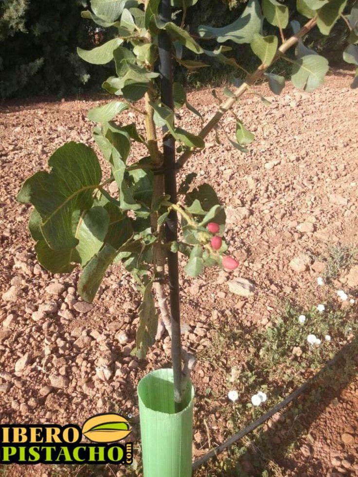 Plantación de pistachos primer año injerto  https://iberopistacho.com/area/planta-injertada