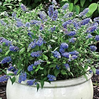 """Blue Chip Dwarf Butterfly Bush (Buddleia davidii Lo and Behold 'Blue Chip' PP#19,991) - The compact size of this new cultivar is perfect for smaller gardens and the mixed border. Will not overwhelm the landscape. Light: Full sun to partial shade. Height: 12-18"""". Deer Resistant. Bloom Time: Early to mid summer. Zones: 4 to 9."""