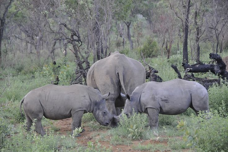 Spend the morning on foot with a ranger in search of a rhino. This is truly an unforgettable experience.