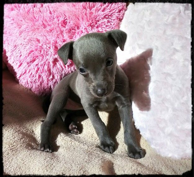 Small Blue Whippet Puppies Whippet Puppies Blue Whippet Pet Breeds
