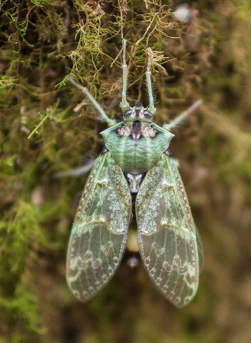 ˚Tettigarcta cicada - Tasmania