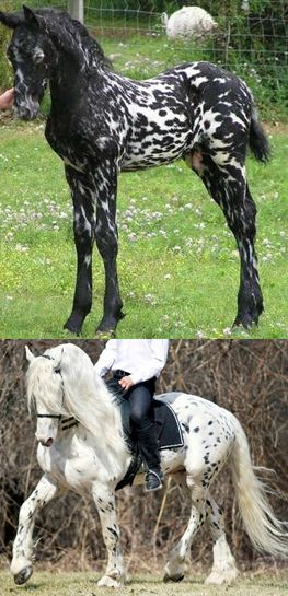 """Friesian/Appaloosa cross - """"Mystic Warrior"""" as a foal and as a stallion. >No matter how many times I see these 2 photos I am totally amazed...!"""