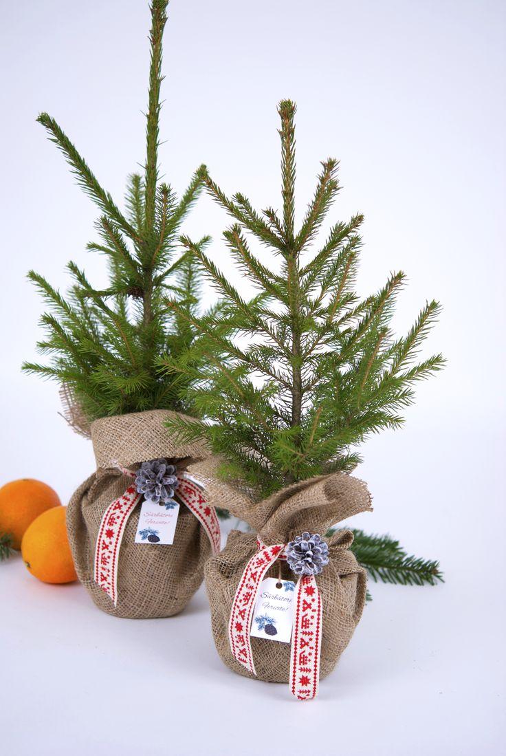 Christmas table arrangement with evergreen plants #conifers #pottedplants #christmaspot #christmasdecoration #christmasplants #christmastree #christmastabletree #christmasdecor #Christmasplantgift #braziinghiveci #bradcadou #planteCraciun #plantecadou #aranjamentCraciun #bradCraciun #bradmicut