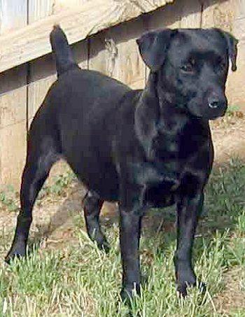Patterdale Terrier | Patterdale Terrier