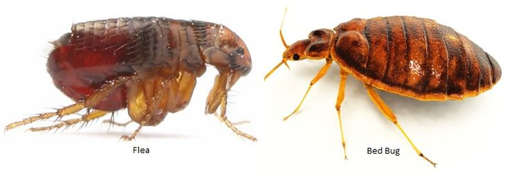fleas and bed bugs -- both feed off mammals, but fleas are bad because they spread disease... but bed bugs are harder to kill off.