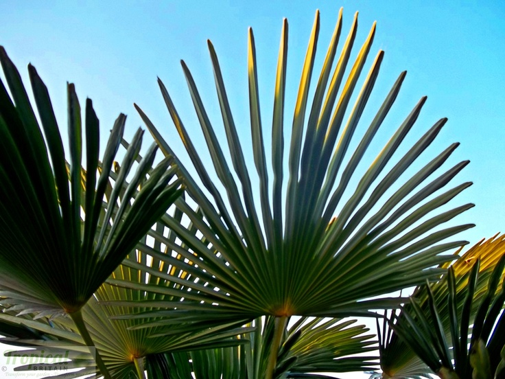 Trachycarpus wagnerianus  - the shorter, stiffer leaf blades give it a greater resistance to strong winds than Trachycarpus fortunei