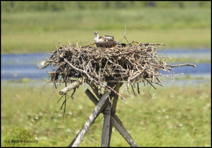 Osprey nest with chick near Bobcaygeon.