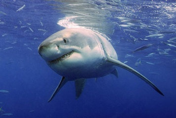 A great white shark cruises underwater in search of prey.  https://www.facebook.com/panamafishing