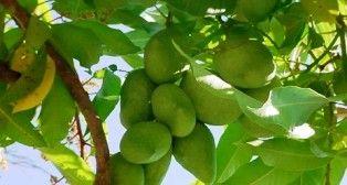 EN TECPAN LLUVIA ACIDA DAÑO 30% DE PRODUCCION DE MANGO - http://www.tvacapulco.com/en-tecpan-lluvia-acida-dano-30-de-produccion-de-mango/