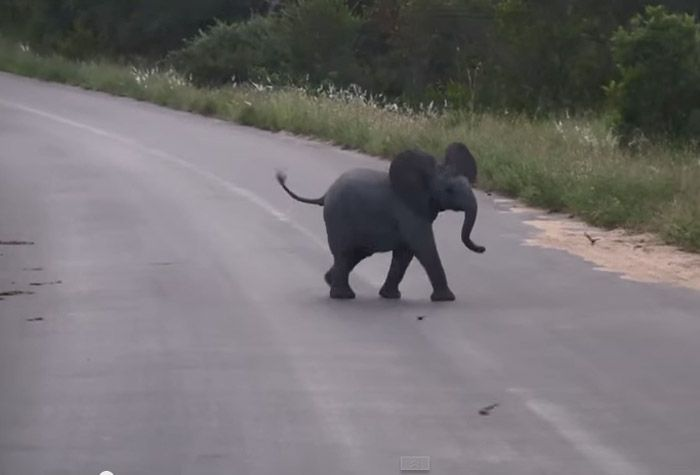 Watch this cute video of a baby elephant playing with some swallows in the Kruger.