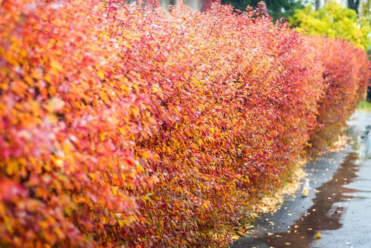 Autumn Hedge - Not an awesome pic, but still gives that autumn feel :)