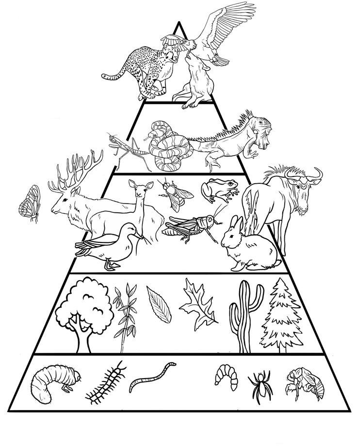 táplálkozási lánc, piramis Science worksheets, Food