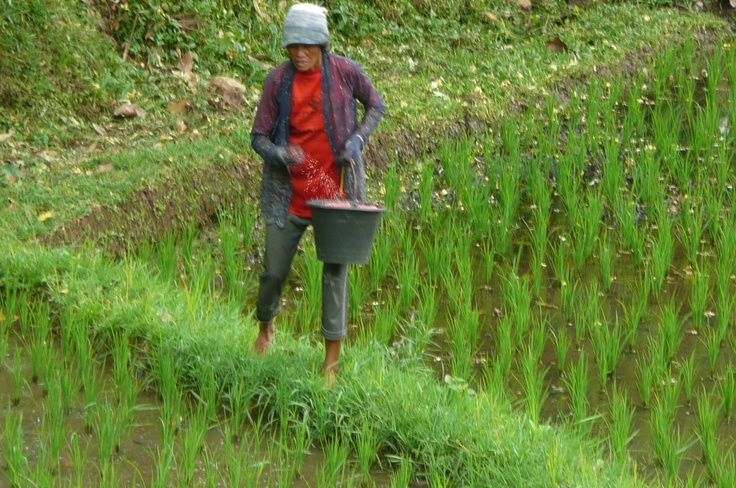 Spreading the fertilizer by hand. (2)