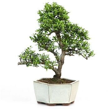 1000 images about florida native on pinterest sun for Holly tree bonsai