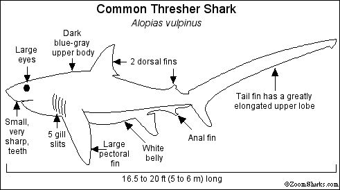 Thresher sharks are mostly nocturnal and has an elongated upper lobe tail fin, making them a very strong swimmers which can vault completely out of the water. Description from thatsofarah.com. I searched for this on bing.com/images