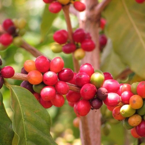 Climate Change Could Lead to Coffee Crisis by SciFri #music
