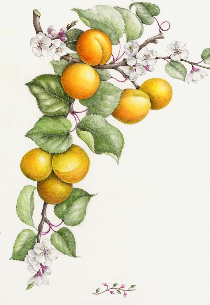 """Apricot"" by Wendy Hollender, (colored pencil)"