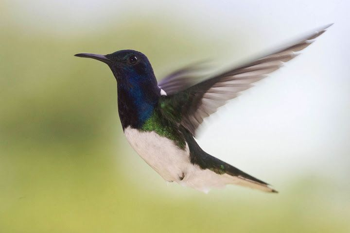This White Necked Jacobin beats his wings impressively fast to stay level with our photographer.