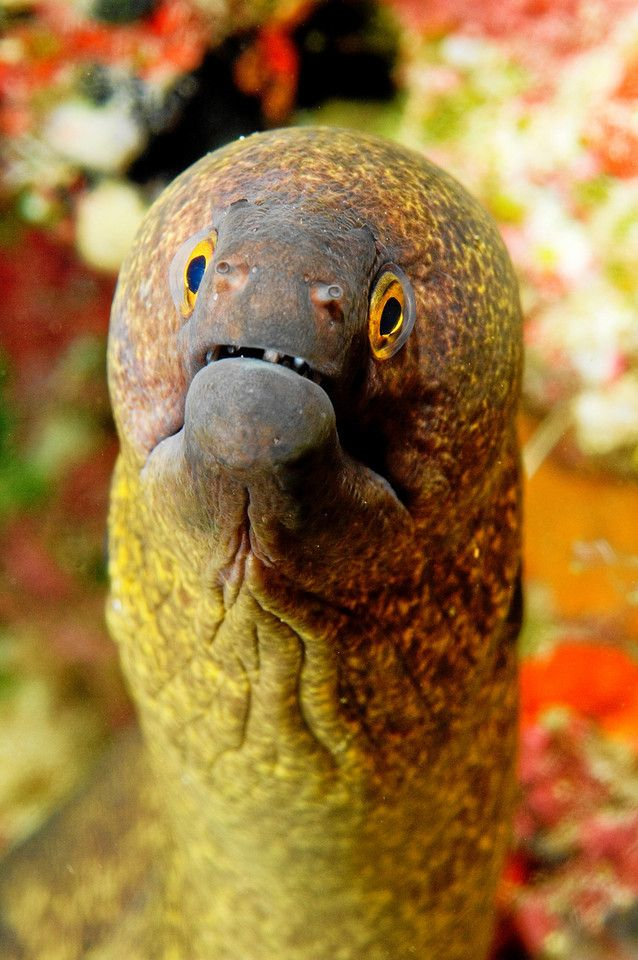 Inquisitive Moray Eel - Cor Bosman & Julie Edwards