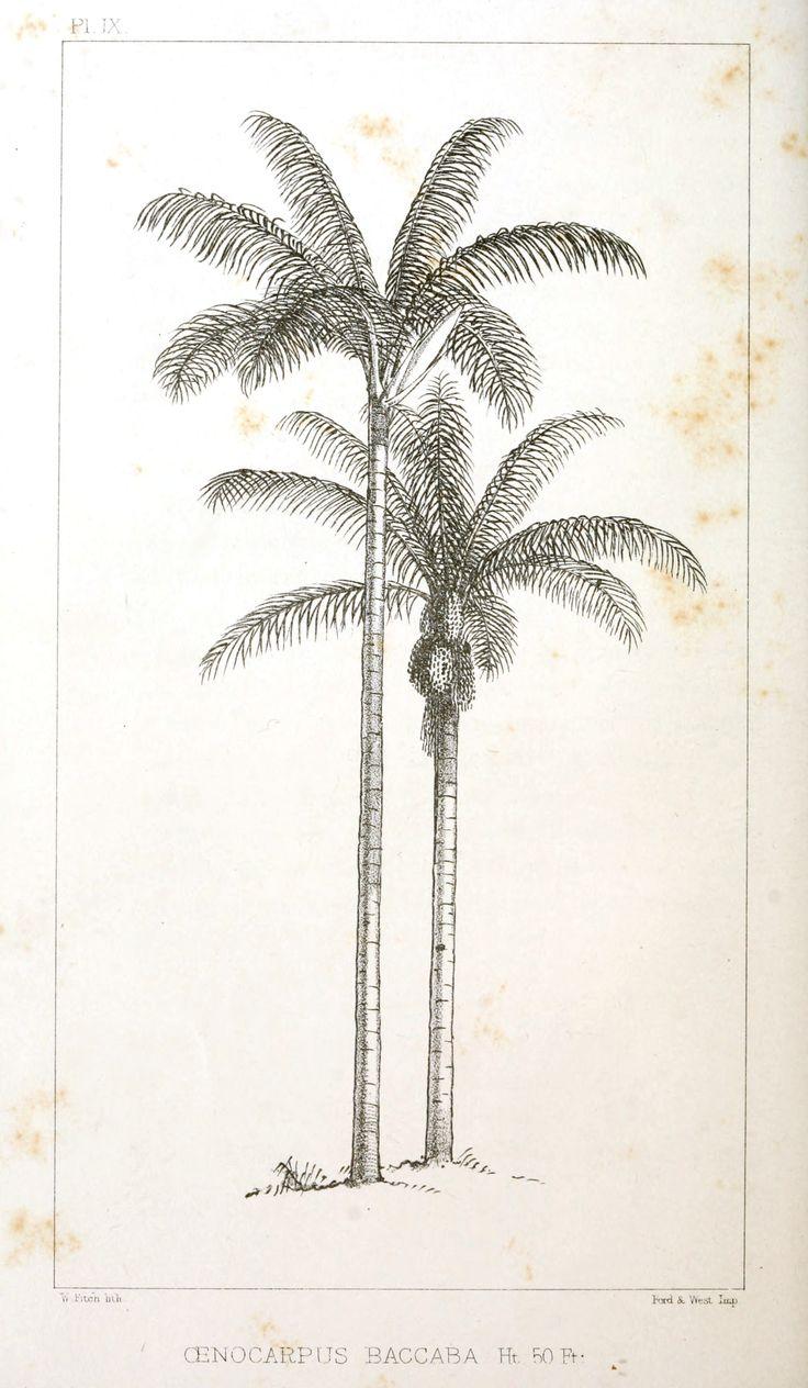 Botanical - Engraving - Trees - Amazon Palm Trees -   (9)