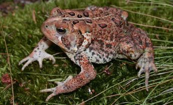 Found from Texas to Georgia and North into Canada the American Toad, (Bufo Anaxyrus) americanas, has a diverse habitat range. Commonly found at night, the toads typically remain in their burrows during the day.