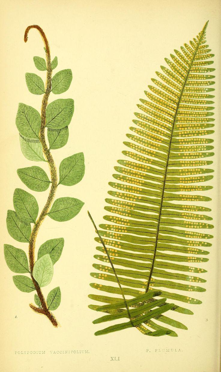 Polypodium. Ferns: British and exotic v.1  London,Groombridge and Sons,1856-60.  Biodiversitylibrary. Biodivlibrary. BHL. Biodiversity Heritage Library