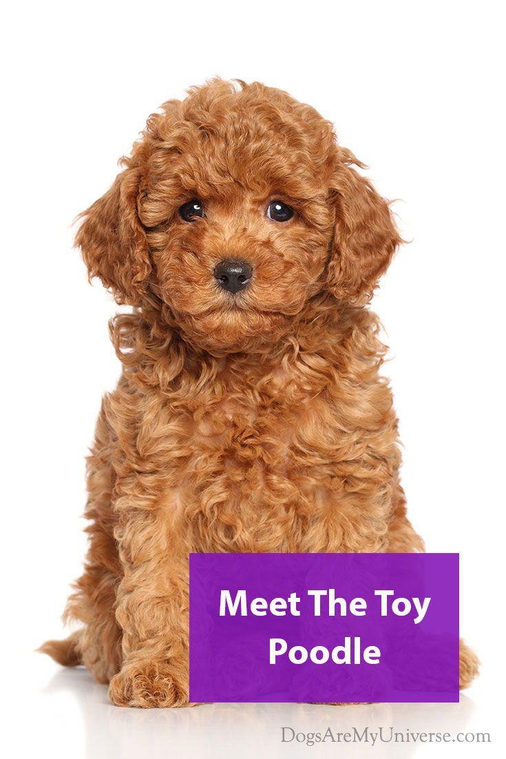 Toy Poodle Breed Information Poodle Bulldog Breeds Dog Breeds