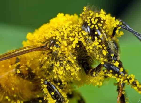 Polline - Il polline è utilizzato da millenni in tutte le culture del mondo per i benefici che può apportare grazie a vitamine, aminoacidi e minerali contenuti.