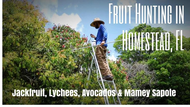 Fruit Hunting @ TREC: Jackfruit Jackpot, Lychees, Avocados & Mamey Sapote