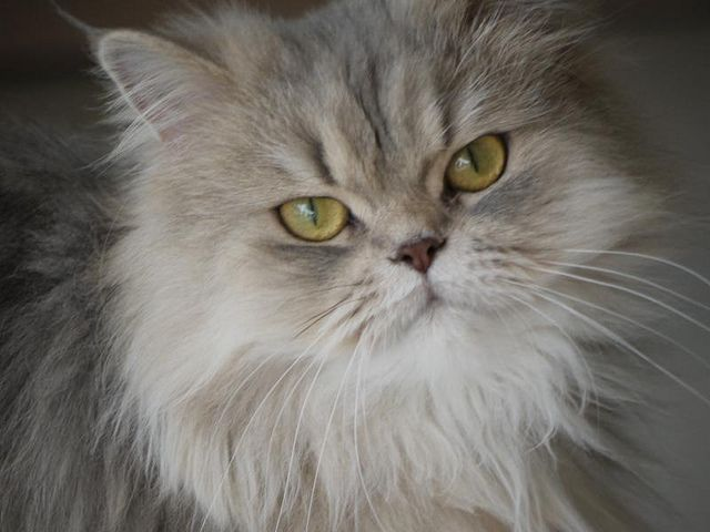 Grey Persian Cat   by Magnus Bråth