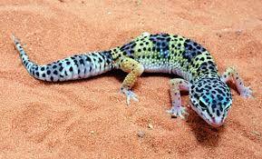 Pretty coloured Leopard Gecko