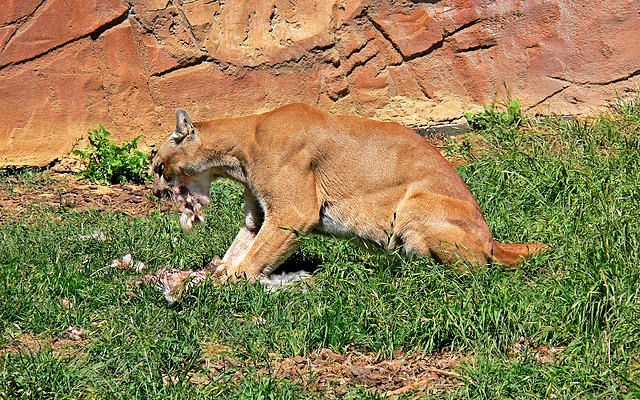 A mountain lion (also called Cougar and Puma)Puma concolor eating. Cougar - Cool and Interesting Facts for Kids